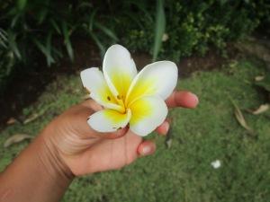 Franigpani Flower from Bali