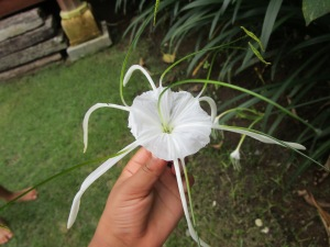 White Spider Lily from Bali